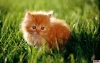 Pisica,